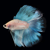 Doubletail Betta Male. Doubletail Betta Female on black background. Beautiful fish. Swimming flutter tail flutter Stock Photo
