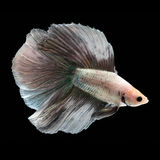 Doubletail Betta Male. Doubletail Betta Female on black background. Beautiful fish. Swimming flutter tail flutter Stock Image