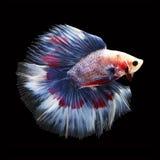 Doubletail Betta sur le fond noir Beaux poissons Image stock