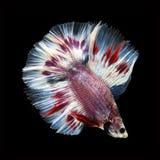 Doubletail Betta sur le fond noir Beaux poissons Images stock