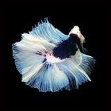 Doubletail Betta sur le fond noir Beaux poissons Photo libre de droits
