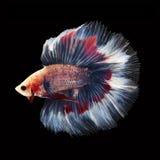 Doubletail Betta sur le fond noir Beaux poissons Photographie stock libre de droits