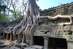 Doubling of roots. Ta Prohm temple.  Royalty Free Stock Photo