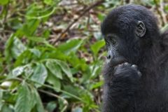 In doubt. Mountain gorilla with hand in mouth looking like having a doubt royalty free stock photo
