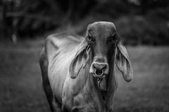 Doubt cow. Cow look at me and doubt about me Stock Photography