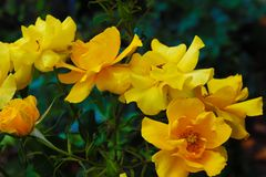 A lot of yellow flowers royalty free stock photography