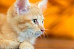 Doubtful oragne little kitten  cat Stock Photos