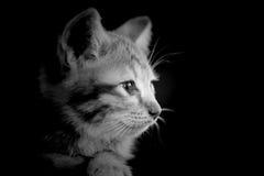 Doubtful oragne little kitten  cat lie on wooden floor closeup b Royalty Free Stock Images