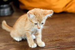 Doubtful oragne little kitten cat lie on wooden floor closeup n. Ear monk robe on background in temple stock image