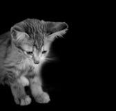 Doubtful oragne little kitten  cat lie on wooden floor closeup n Stock Photography