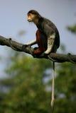 douc叶猴猴子 免版税图库摄影
