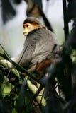 douc叶猴猴子 库存图片