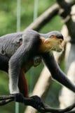 douc叶猴猴子 免版税库存照片