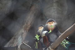 douc吃食物叶猴 免版税库存图片