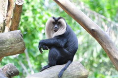 Douc Langur Stock Photo
