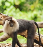 Douc Langur. The doucs or douc langurs make up the genus Pygathrix, which consists of these 3 species: Red-shanked Douc, Pygathrix nemaeus Black-shanked Douc stock photo