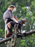 Douc Langur. An endangered Douc Langur monkey prepares to ride on the back of its companion stock image
