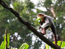 Douc Langur Royalty Free Stock Photo