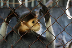 Douc langur. On the cage Stock Photo