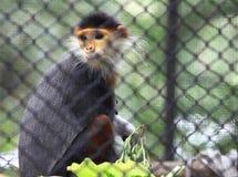 douc langur małpa Zdjęcia Royalty Free