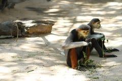 douc langur małpa Zdjęcie Royalty Free