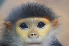 Douc Langur małpa Zdjęcia Stock