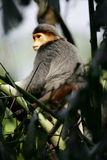 Douc Langur Monkey Stock Images