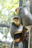 Douc Langur monkey close-up Stock Image