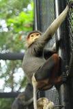 Douc Langur monkey close-up Stock Image