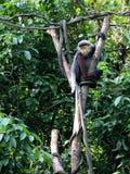 Douc Langur 1. Douc Langur monkey Pygathrix Nemaeus hanging around a tree trunk Royalty Free Stock Images