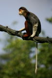 Douc Langur Monkeys Royalty Free Stock Photography
