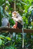 Douc Langur. Nine coloured monkey Douc Langur. They have 3 species: * Red-shanked Douc, Pygathrix nemaeus * Black-shanked Douc Stock Photos