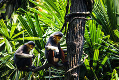 Douc Langur sitting on a branch. Two Douc Langur sittin on the brunch in Singapore Zoo Stock Photos