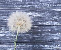 Douceur d'été de saison de pissenlit vieille d'antiquité de fragilité sensible de scène sur un flimsy en bois de fond photo stock