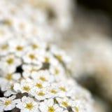 Douceur de fleur de pomme sauvage Photo stock
