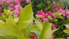 douceur et harmonie dans une belle image des feuilles vert clair photographie stock