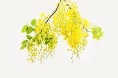 Douche d'or jaune, isolat de fleur de fistule de casse sur le CCB blanc Photographie stock libre de droits