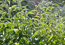 Douche de ressort de fleur de pivoine Image libre de droits