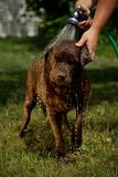 Douche pour le chocolat Labrador Photo stock