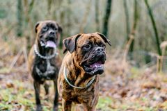 Douge de Bordeaux Dog Stockfotografie