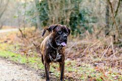 Douge de Bordeaux Dog Lizenzfreie Stockfotografie