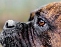 Douge de Bordeaux Dog Stockfoto