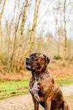 Douge de Bordeaux Dog Stockfotos