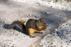 Douglas-Eichhörnchen lizenzfreies stockbild