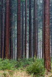 Douglas fir Stock Image