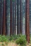 Douglas fir. A forest with tall Douglas fir and seedlings stock image
