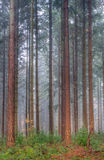 Douglas fir Stock Photography