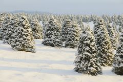 Douglas Fir, Christmas Tree Farm Covered in a Blanket of Snow, a Winter Wonderland, Trees Shown is Soft-Focus in Background, Hazy. Blue Sky, Daytime stock photos
