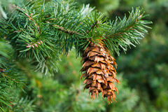 Douglas fir cones Stock Images