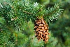 Douglas fir cones. Close up of a douglas fir (Pseudotsuga menziesii) branch with cones Stock Images
